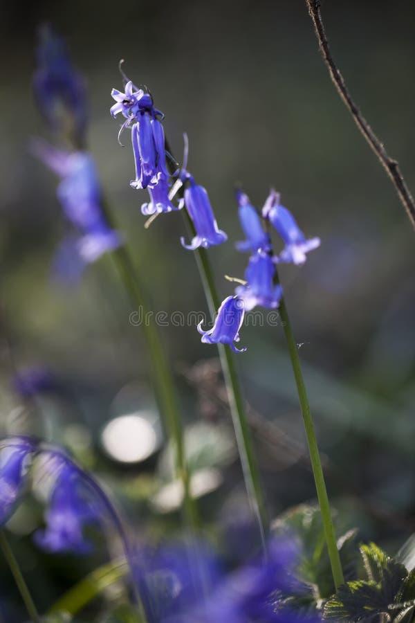Gebürtige britische Glockenblumen lizenzfreies stockfoto
