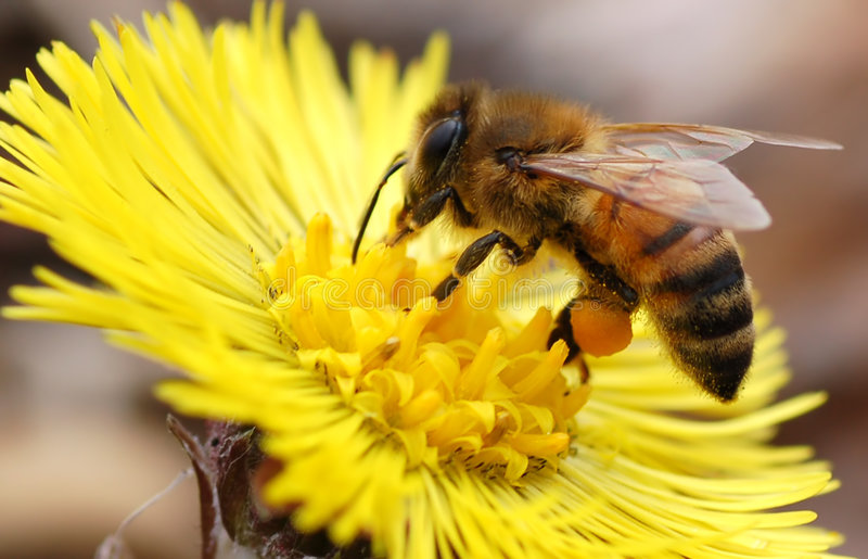Gebürtige Honig-Biene stockfotos