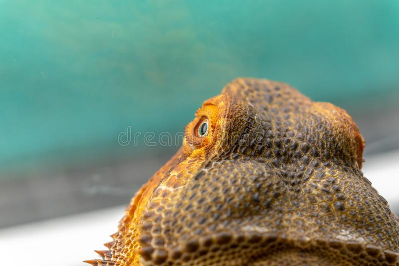 Gebaard Dragon Agama Lemon Australia royalty-vrije stock foto