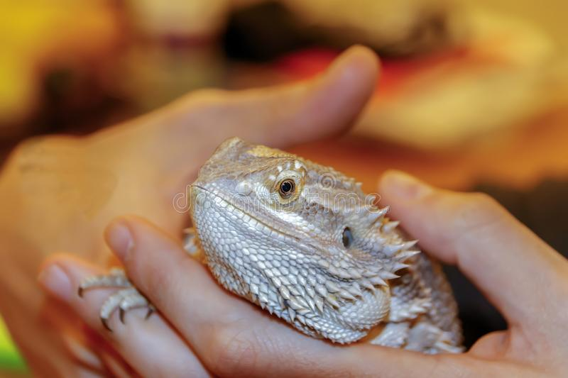 Gebaard Dragon Lizard holded in handen royalty-vrije stock foto's