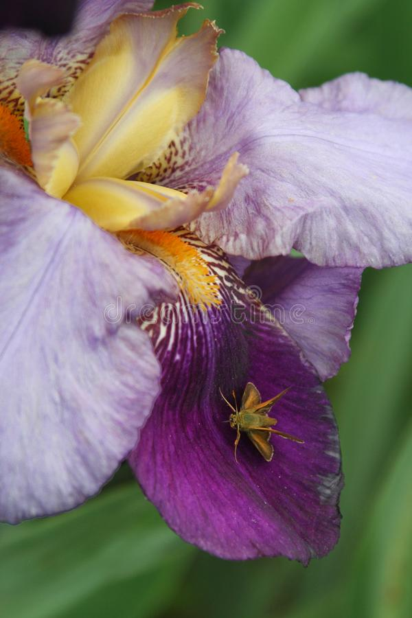 Gebaard irisdetail met tegenover elkaar stellende mot royalty-vrije stock afbeelding