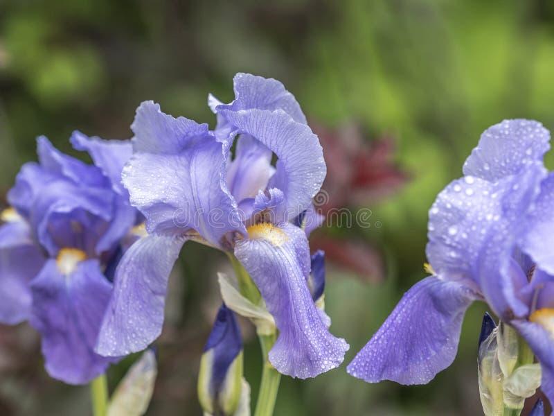 Gebaarde Bloe-Irisbloem stock afbeelding