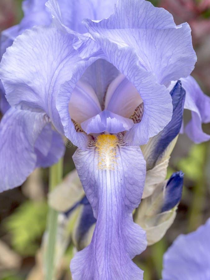 Gebaarde Bloe-Irisbloem royalty-vrije stock afbeelding