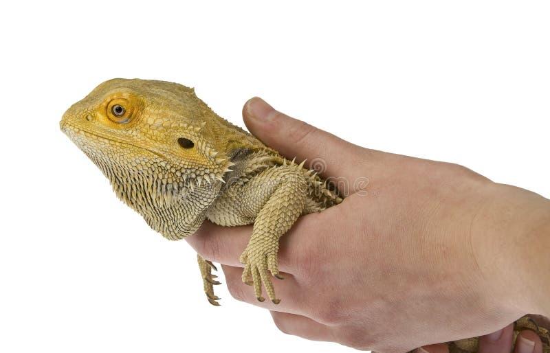 Gebaarde draak die geïsoleerdt wordt gehouden stock foto