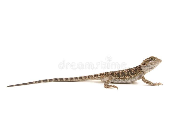 Gebaarde Draak die op Wit wordt geïsoleerd¯ stock afbeelding