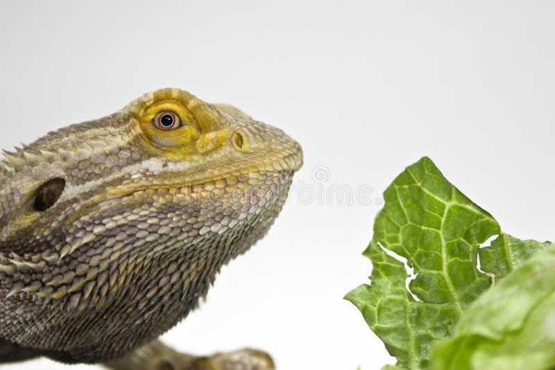 Gebaarde Draak die Voedsel bekijkt stock foto