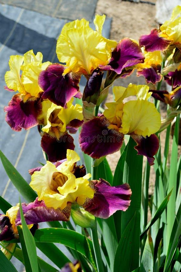 Gebaarde Flagrante Irisverscheidenheid stock afbeeldingen