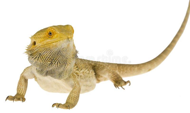 Gebaarde geïsoleerdea draak stock afbeelding