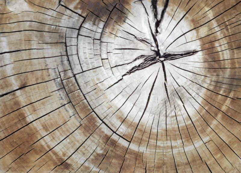 Gebarsten pijnboom-boom boomstam in dwarsdoorsnede royalty-vrije stock afbeeldingen