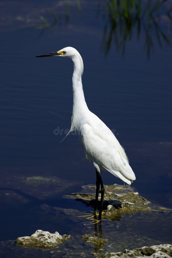 Geben weiße Reiher-Sumpfgebiete des Snowy-Reihers Nationalpark Florida USA an lizenzfreies stockfoto