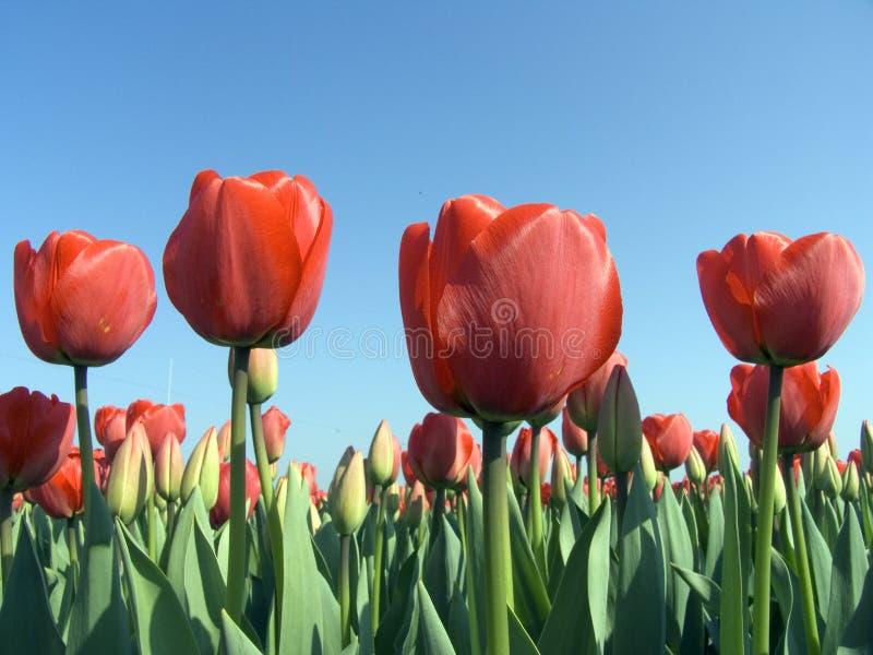 Gebied 9 van de tulp stock afbeeldingen