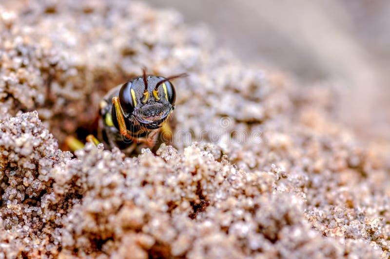 Gebied Digger Wasp Mellinusarvensis Solitair Digger Wasp stock foto's