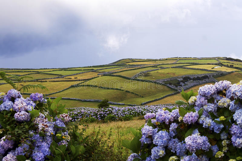 Gebied en hydrangea hortensia's in het eiland Faial royalty-vrije stock fotografie