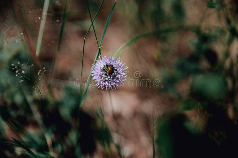 Gebied het bloeien installatie het groeien in de bos Lilac bloem van de heldere bruine kever van de kleurenhoning royalty-vrije stock afbeelding