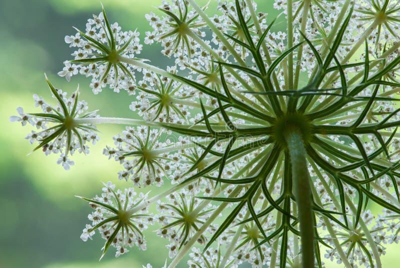 Gebied met bloei van wilde wortel stock foto