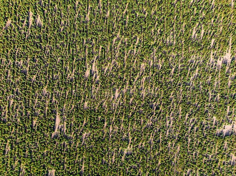 Gebied met bloeiende zonnebloemen van helikopter, luchtmening stock afbeelding