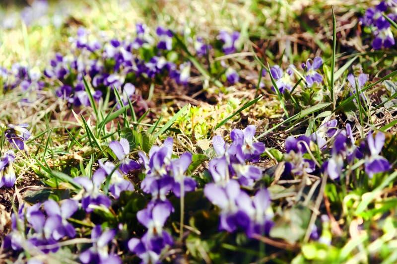Gebied met de lenteviooltjes royalty-vrije stock afbeelding