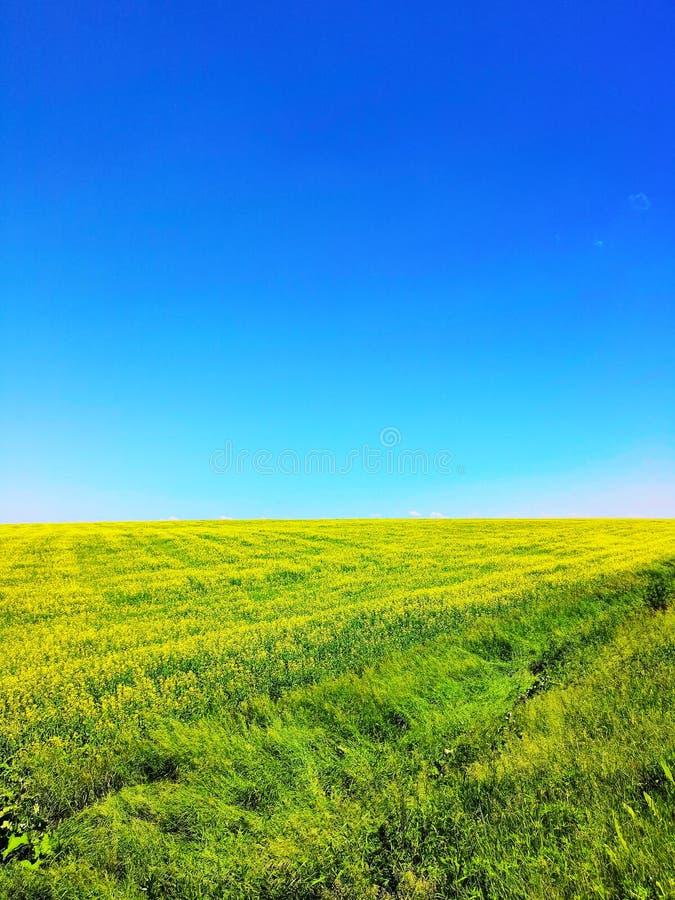 Gebied met gele bloemen en heldere blauwe hemel in de zomer Groene Gebied en Hemel Perfecte groene gebied en hemel stock foto's