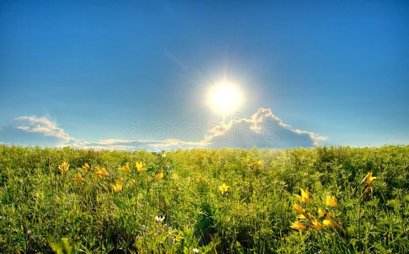 Gebied met gele lelies stock foto