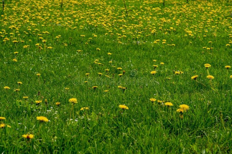 Gebied met gele paardebloemen en blauwe hemel stock fotografie