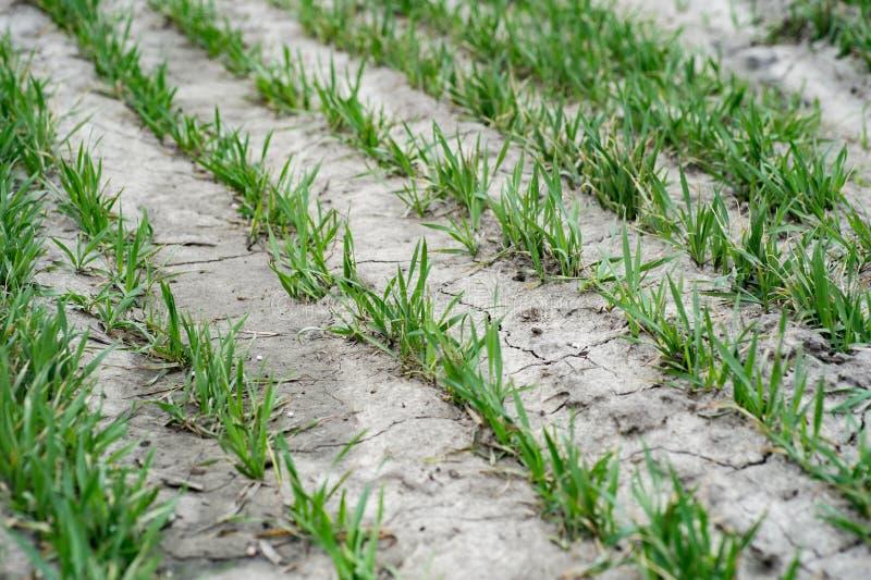 Gebied met graangewassen Landbouwgebied waarop jong g kweek royalty-vrije stock afbeeldingen