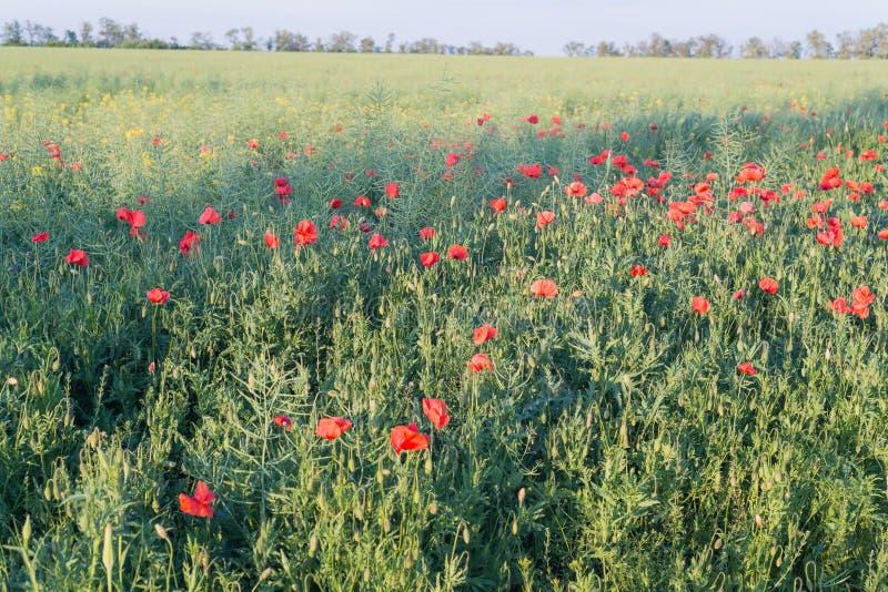 Gebied met heldere rode papavers Bloeiende geurige scharlaken bloemen - papavers tegen de achtergrond van groen gras royalty-vrije stock afbeelding