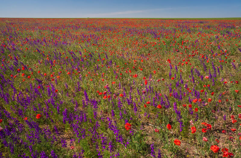 Gebied met mooie rode papaver en purpere bloemen royalty-vrije stock afbeeldingen
