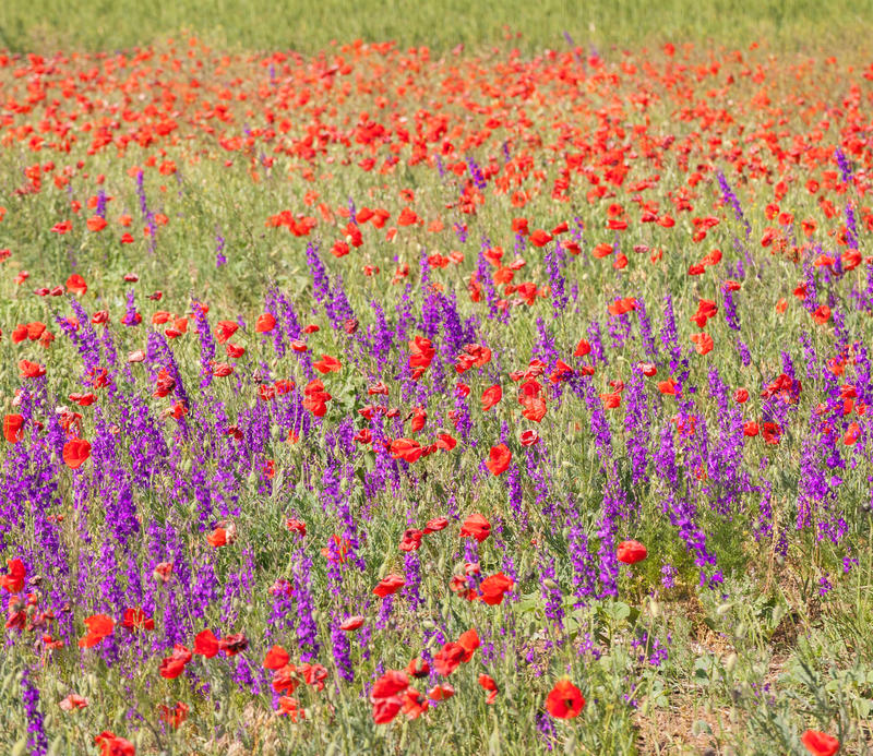 Gebied met mooie rode papaver en purpere bloemen royalty-vrije stock afbeelding