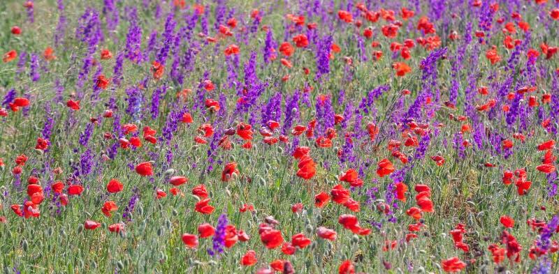 Gebied met mooie rode papaver en purpere bloemen stock afbeelding