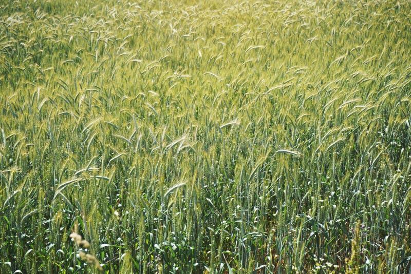 Gebied met onrijpe groene tarwe - abstracte landbouwachtergrond stock foto