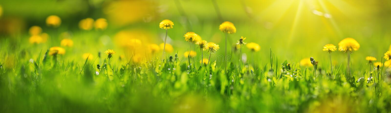 Gebied met paardebloemen Close-up van gele de lentebloemen stock afbeeldingen