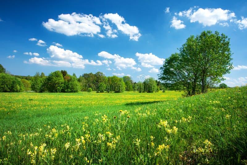Gebied met paardebloemen en blauwe hemel royalty-vrije stock afbeelding