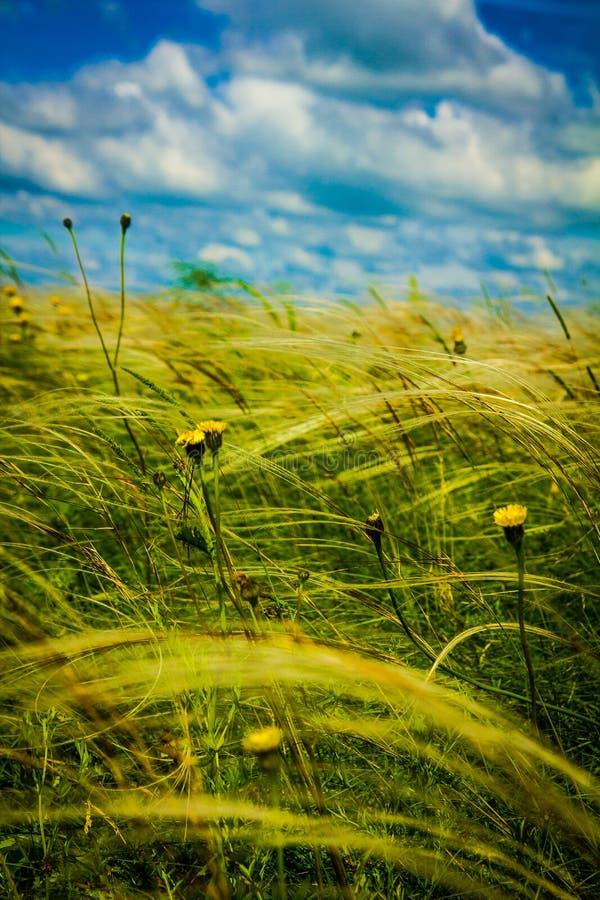 Gebied met pluimgras en gele bloemen royalty-vrije stock fotografie