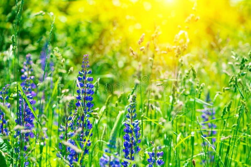 Gebied met purpere lupinebloemen met zonstralen Zachte nadruk De achtergrond van de aard stock foto