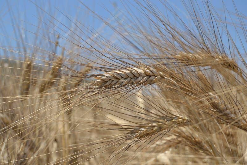 Gebied met rijpe tarwe, met een dicht gefotografeerd oor stock afbeelding