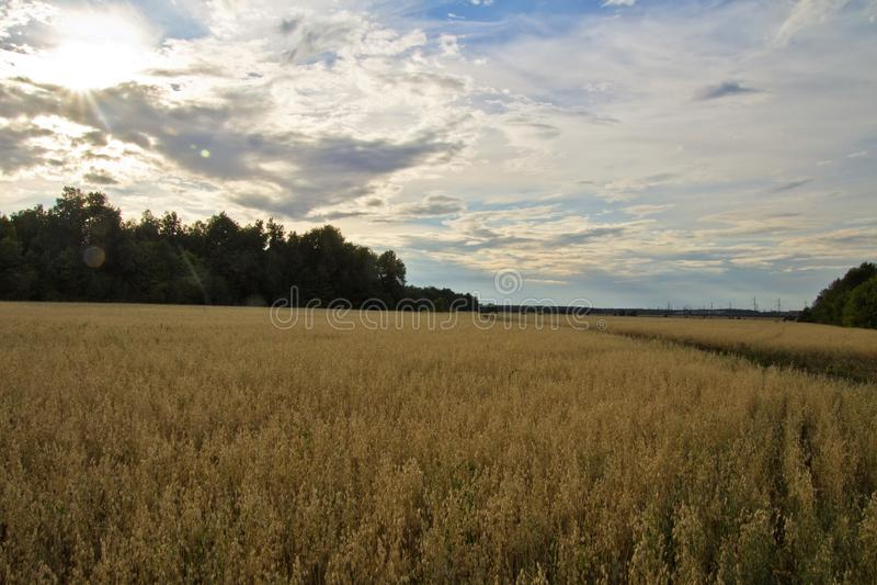 Gebied met tarwe onder een blauwe hemel stock foto
