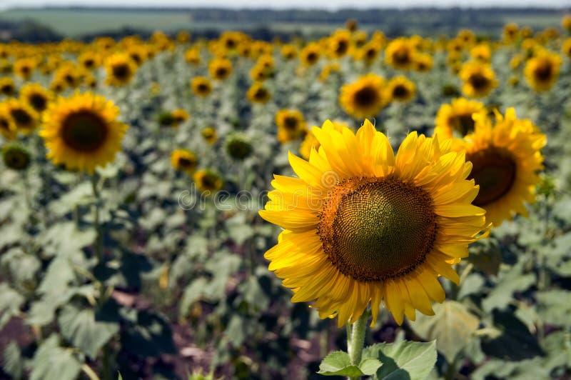 Gebied met zonnebloemen stock afbeeldingen