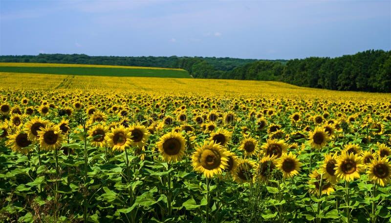 Gebied met zonnebloemen tegen een achtergrond van een bosje en een blauwe hemel royalty-vrije stock foto