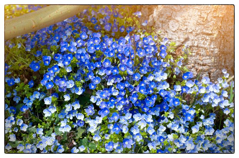 Gebied op blauwe kleine bloemen in April Het tuinieren blauwe bloemen in een zonnige dag royalty-vrije stock afbeeldingen
