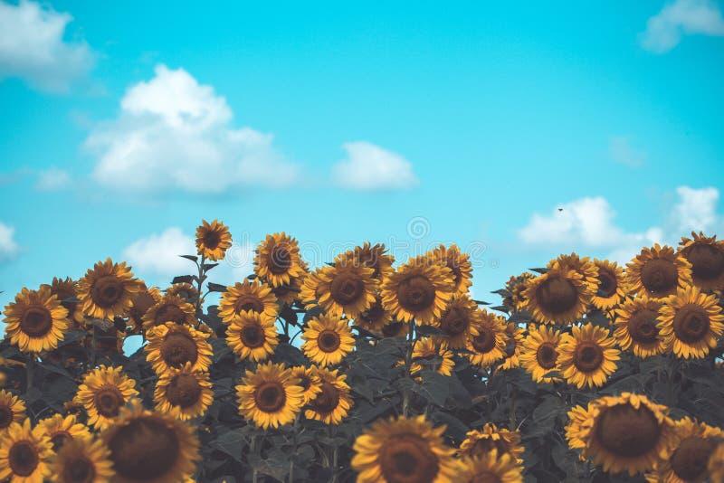 Gebied van bloeiende Gele zonnebloemen met blauwe bewolkte hemel stock afbeelding