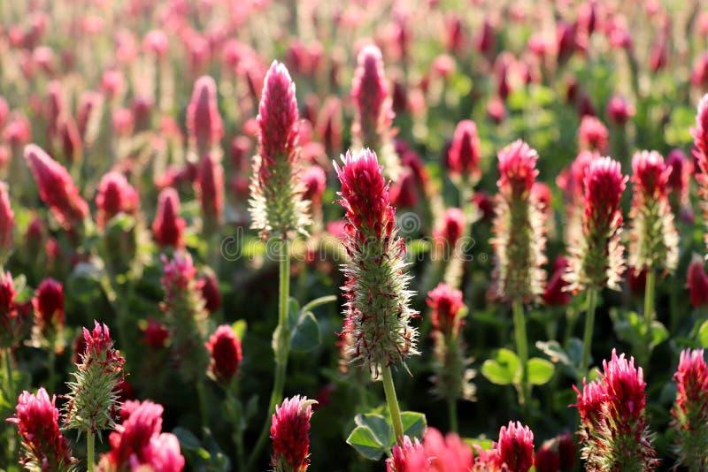Gebied van bloeiende karmozijnrode klavers in de lentelandschap Mooie rode kleur Klaverincarnatum, als karmozijnrood wordt bekend stock fotografie