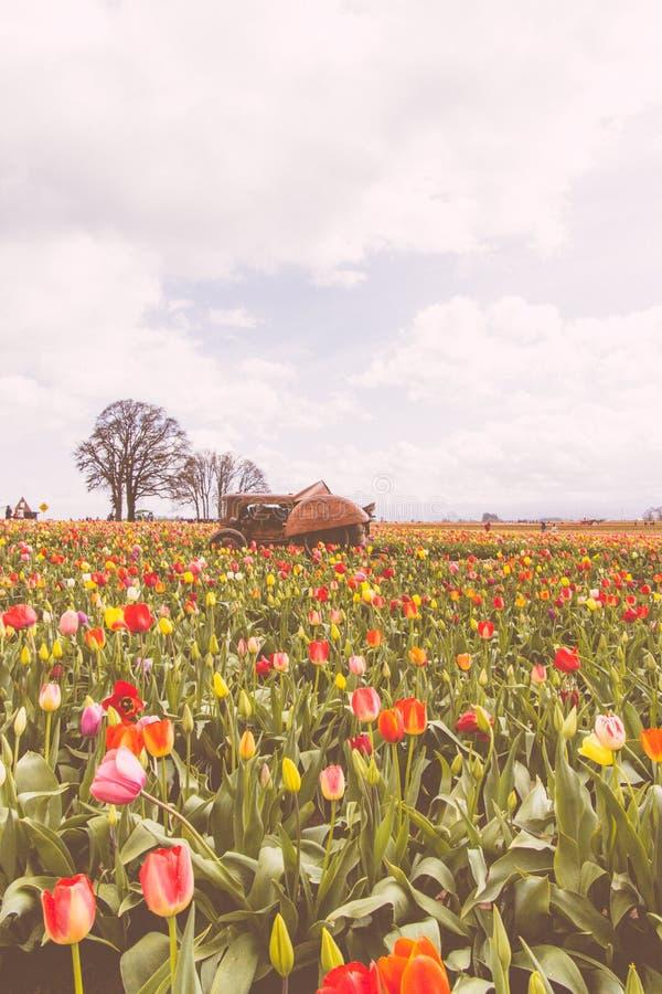 Gebied van bloeiende mooie kleurrijke tulpen met een oude roestige tractor in het midden stock foto's
