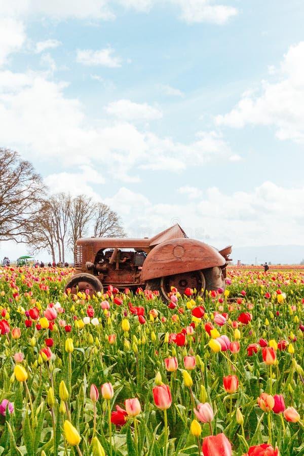 Gebied van bloeiende mooie kleurrijke tulpen met een oude roestige tractor in het midden stock afbeelding