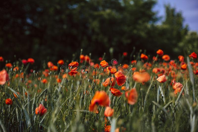Gebied van bloeiende papaverbloemen stock foto's