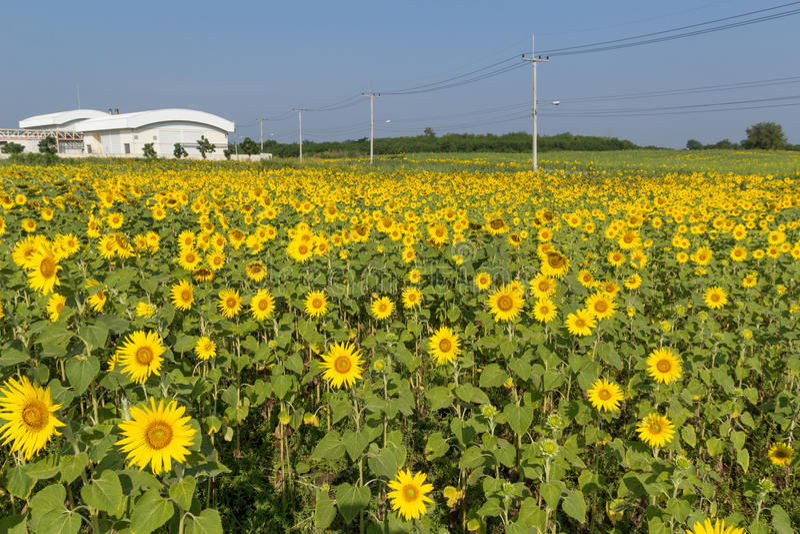 Gebied van bloeiende zonnebloemen stock foto