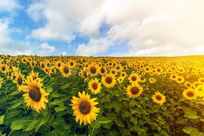Gebied van bloeiende zonnebloemen in de zomer zonnige dag onder blauwe duidelijke hemel met witte gezwollen wolken Rijke oogst en stock fotografie