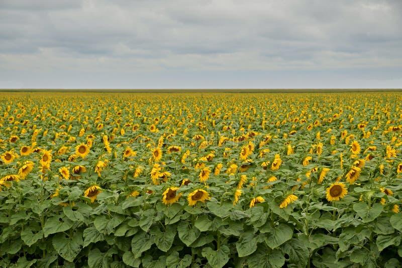 Gebied van bloeiende zonnebloemen onder bewolkte hemel met wolken royalty-vrije stock afbeeldingen