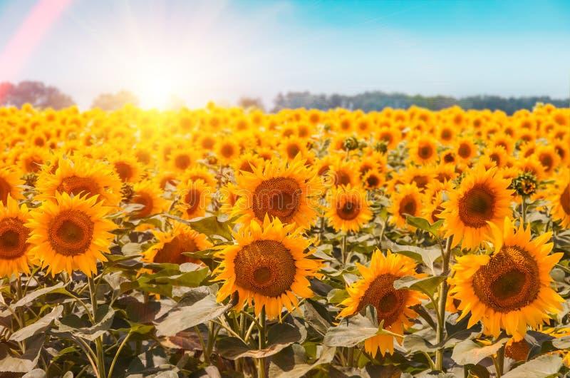 Gebied van bloeiende zonnebloemen op achtergrondzonsondergang royalty-vrije stock afbeelding