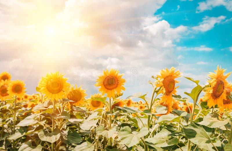 Gebied van bloeiende zonnebloemen op achtergrondzonsondergang stock fotografie