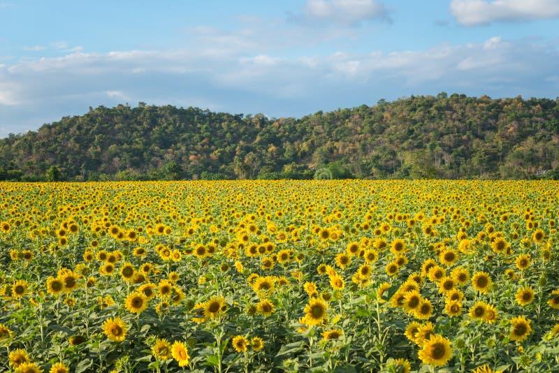 Gebied van bloeiende zonnebloemen op een achtergrondberg royalty-vrije stock fotografie